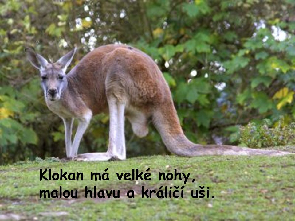 Klokan má velké nohy, malou hlavu a králičí uši.