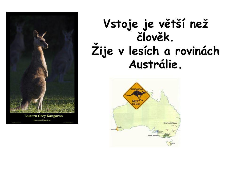 Vstoje je větší než člověk. Žije v lesích a rovinách Austrálie.