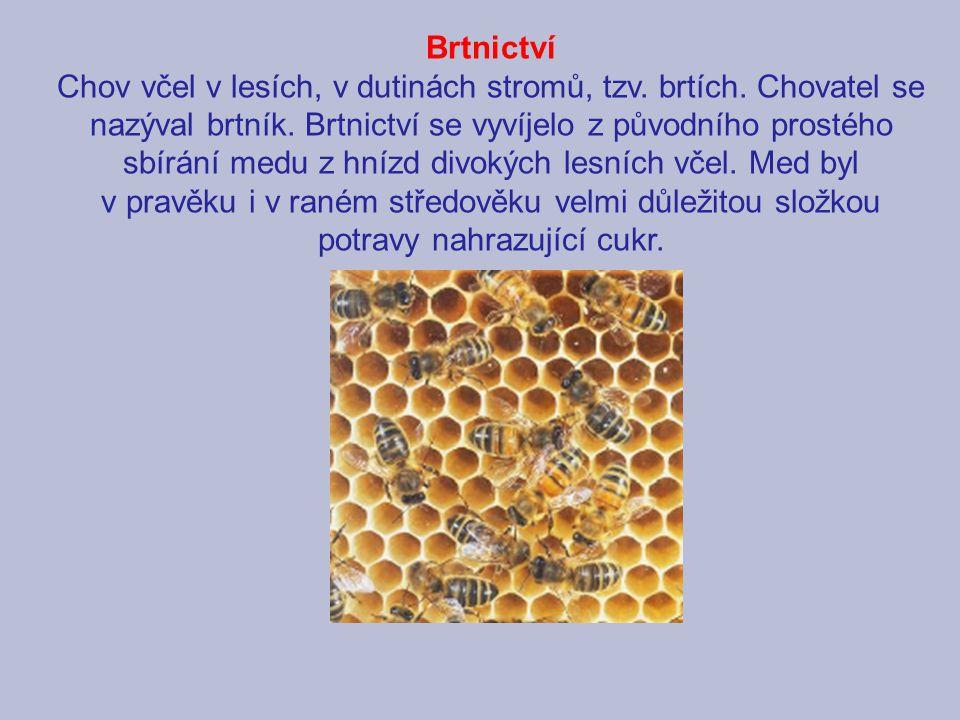 Brtnictví Chov včel v lesích, v dutinách stromů, tzv. brtích
