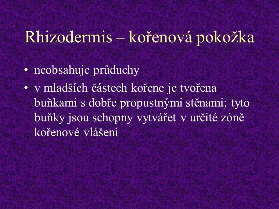 Rhizodermis – kořenová pokožka