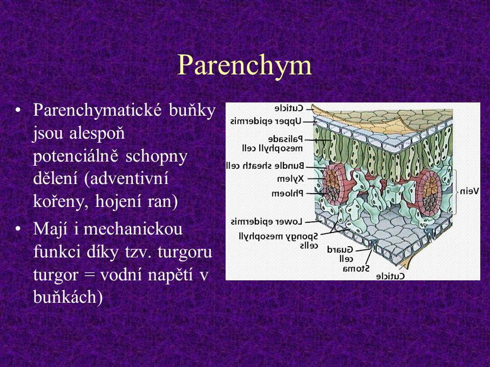 Parenchym Parenchymatické buňky jsou alespoň potenciálně schopny dělení (adventivní kořeny, hojení ran)