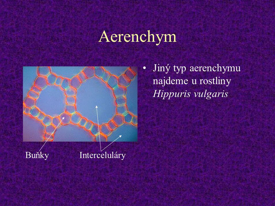 Aerenchym Jiný typ aerenchymu najdeme u rostliny Hippuris vulgaris