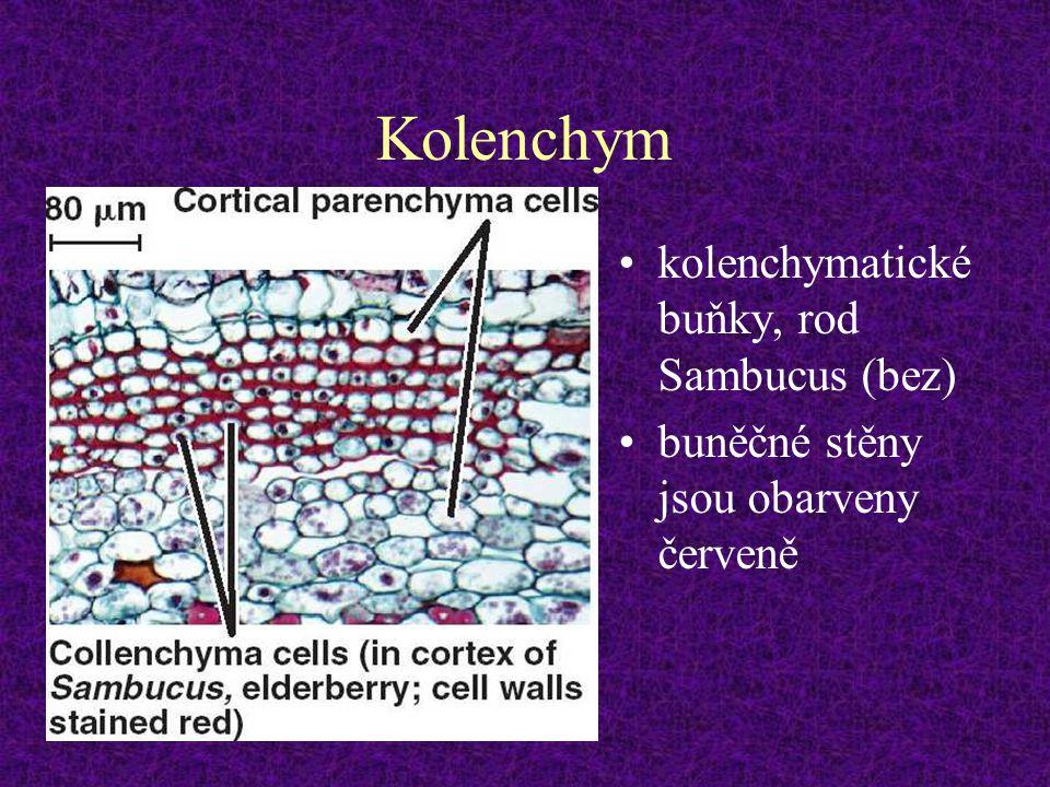 Kolenchym kolenchymatické buňky, rod Sambucus (bez)