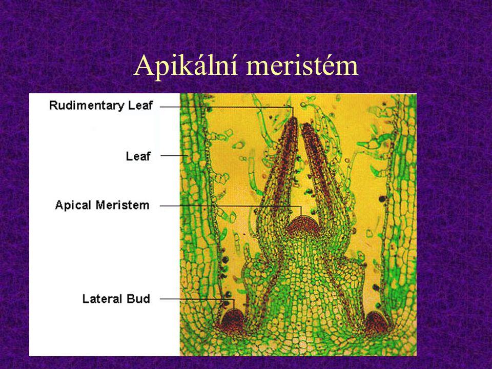 Apikální meristém