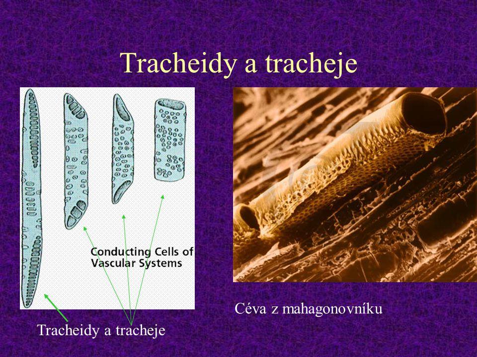 Tracheidy a tracheje Céva z mahagonovníku Tracheidy a tracheje