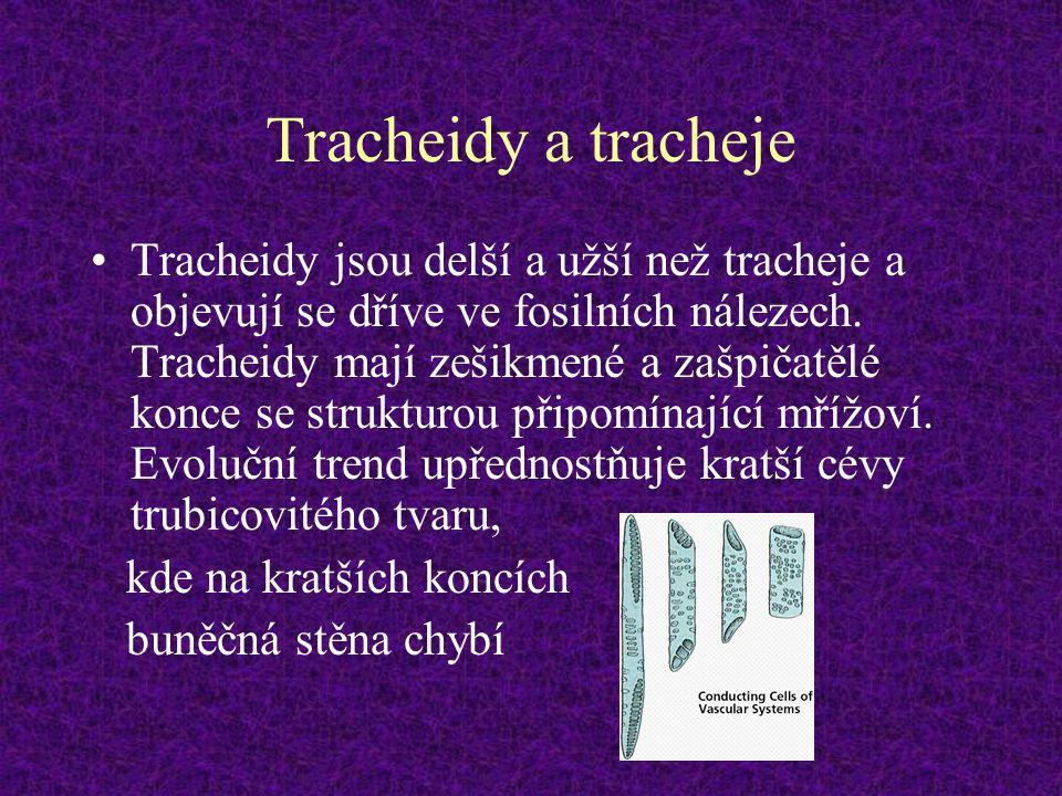 Tracheidy a tracheje