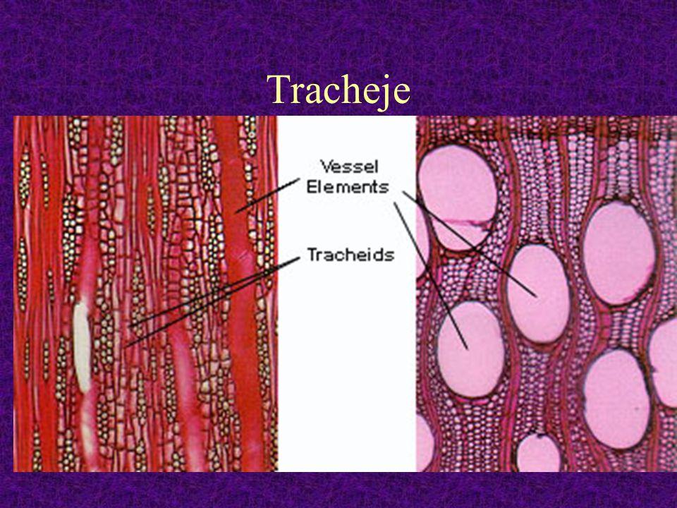 Tracheje