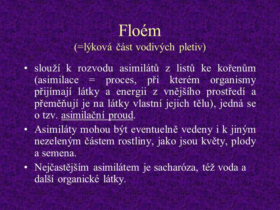 Floém (=lýková část vodivých pletiv)