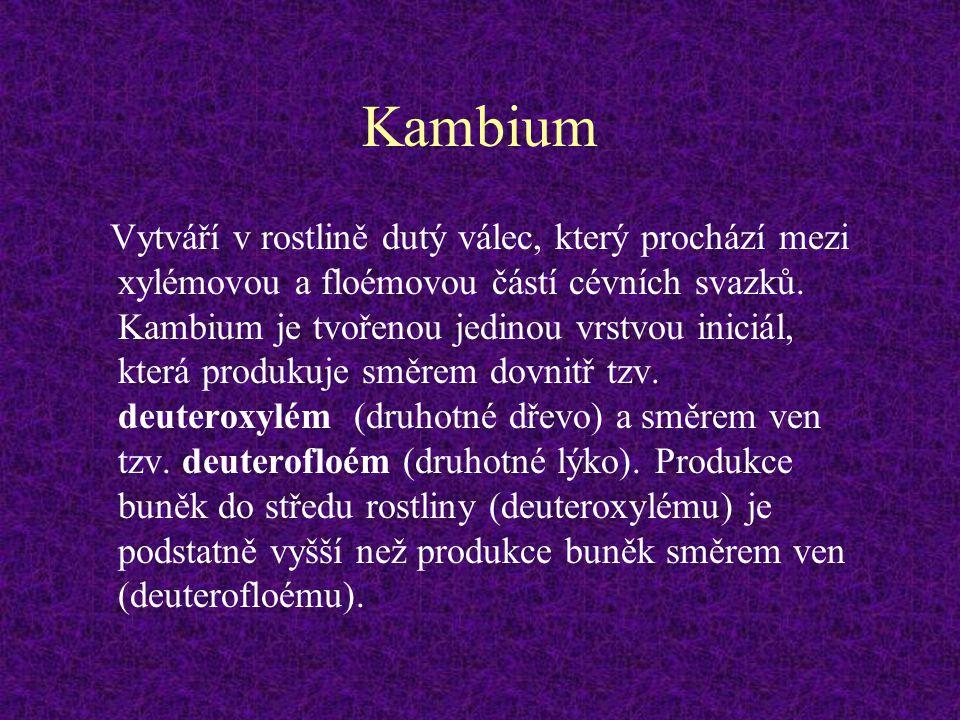 Kambium