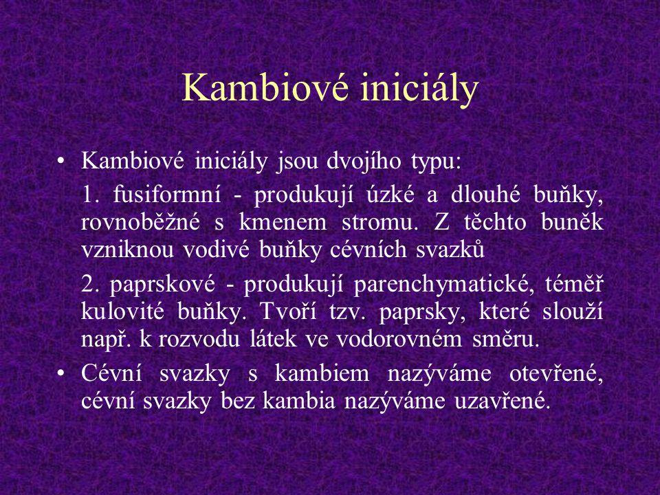 Kambiové iniciály Kambiové iniciály jsou dvojího typu: