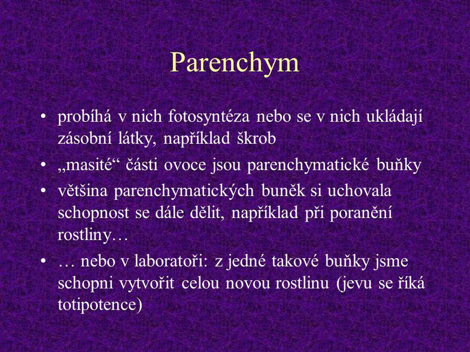 """Parenchym probíhá v nich fotosyntéza nebo se v nich ukládají zásobní látky, například škrob. """"masité části ovoce jsou parenchymatické buňky."""