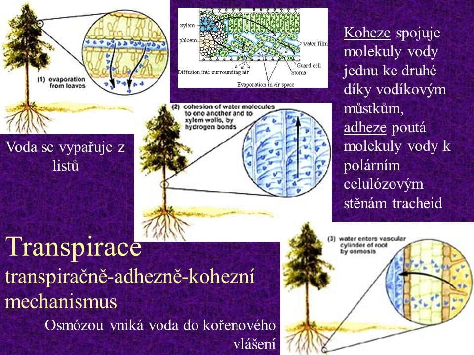 Transpirace transpiračně-adhezně-kohezní mechanismus