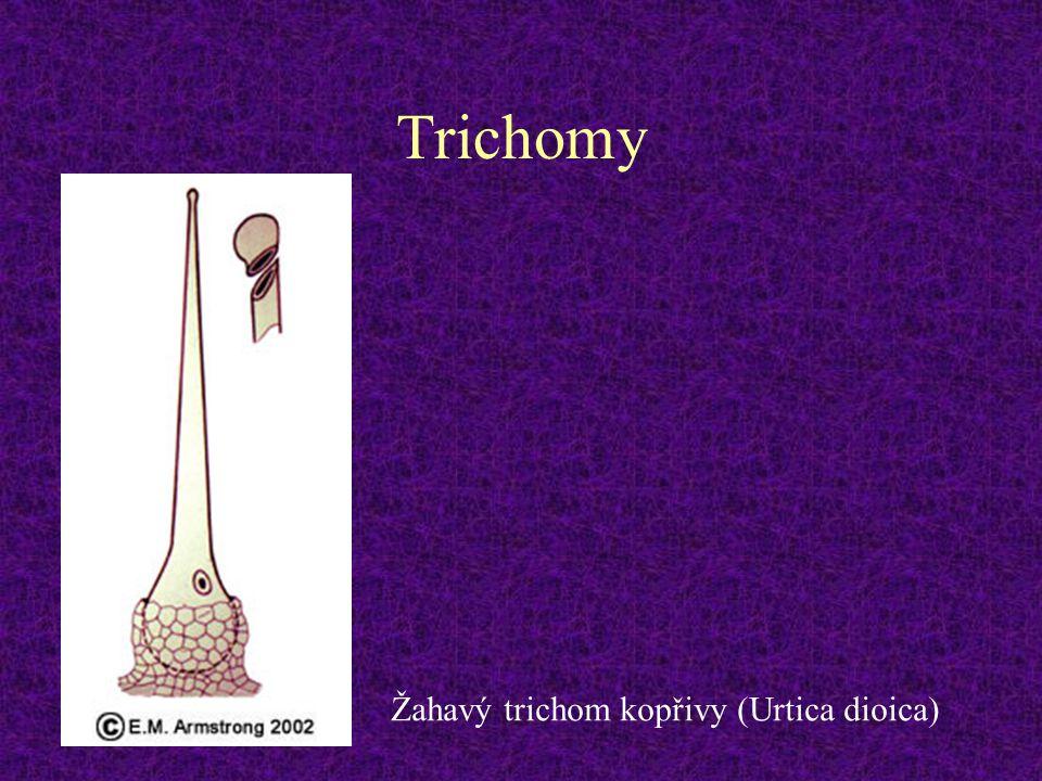 Trichomy Žahavý trichom kopřivy (Urtica dioica)