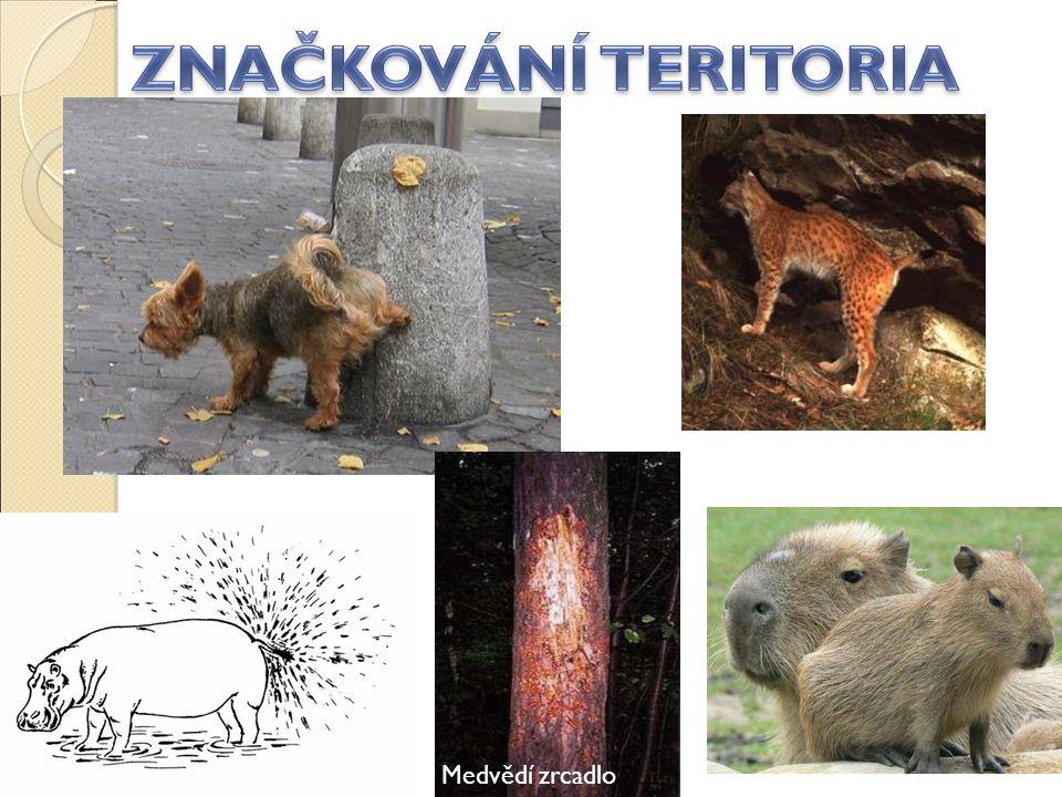 ZNAČKOVÁNÍ TERITORIA Medvědí zrcadlo