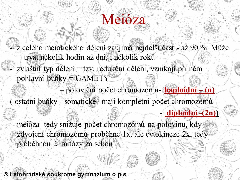 Meióza - z celého meiotického dělení zaujímá nejdelší část - až 90 %. Může trvat několik hodin až dní, i několik roků.