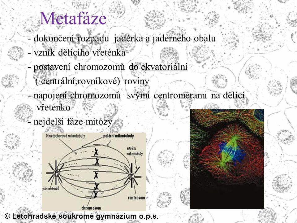 Metafáze