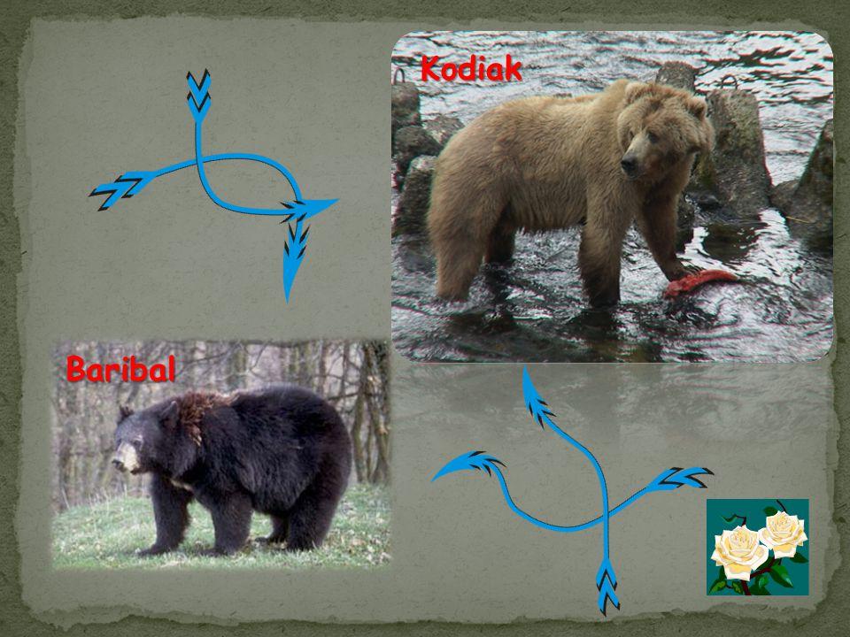 Kodiak Baribal