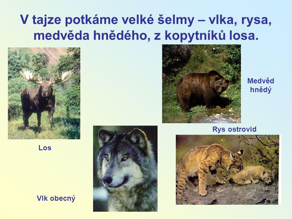 V tajze potkáme velké šelmy – vlka, rysa, medvěda hnědého, z kopytníků losa.