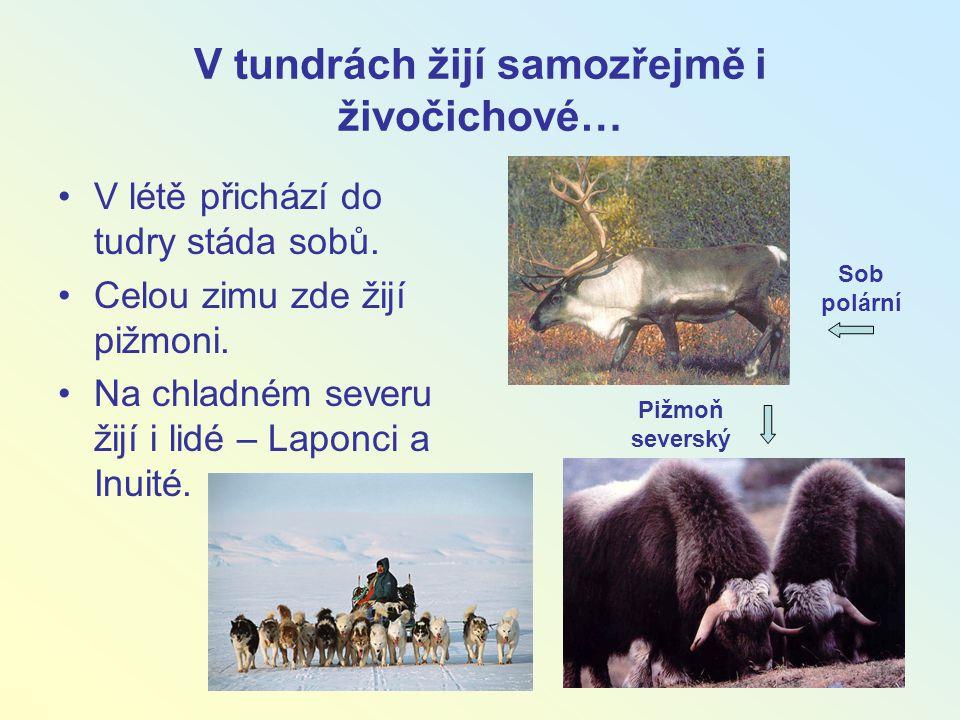 V tundrách žijí samozřejmě i živočichové…