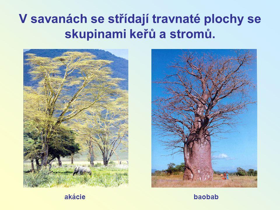 V savanách se střídají travnaté plochy se skupinami keřů a stromů.