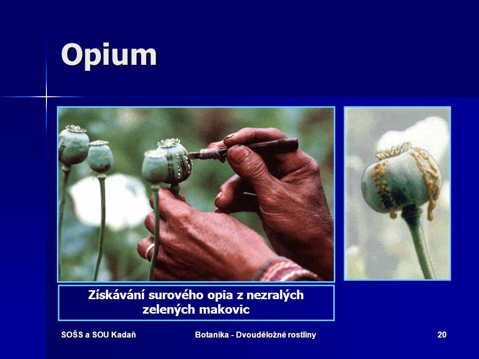 Získávání surového opia z nezralých Botanika - Dvouděložné rostliny