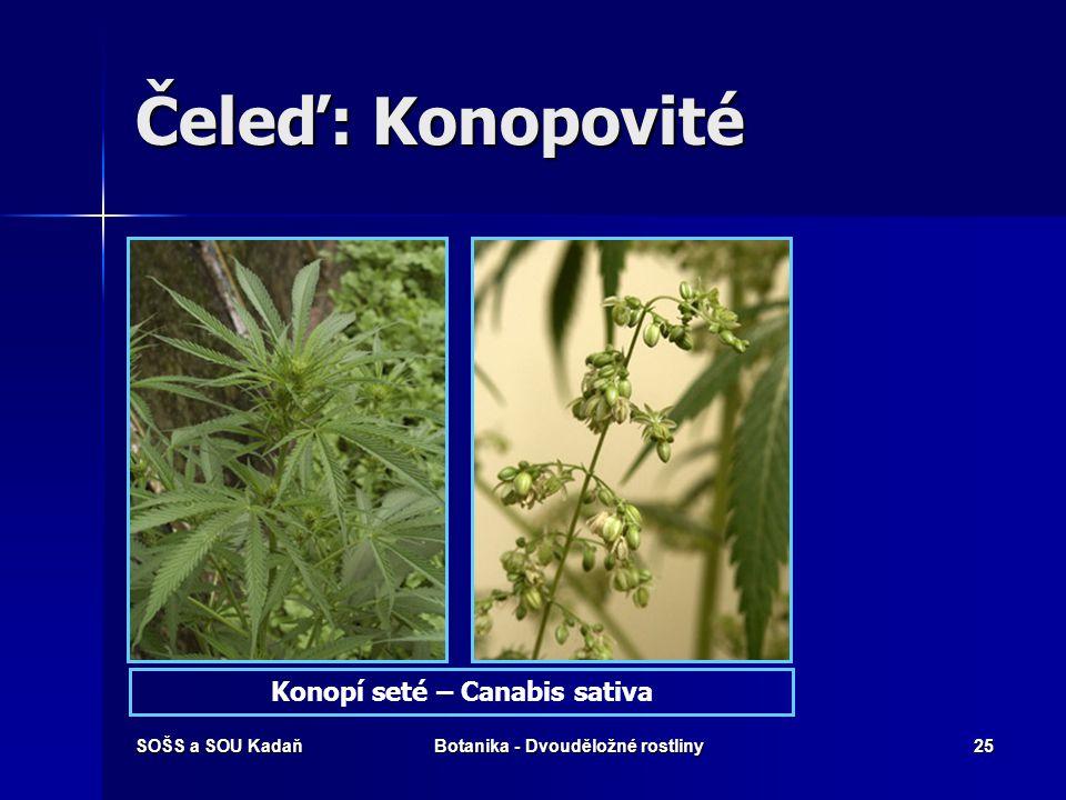 Konopí seté – Canabis sativa Botanika - Dvouděložné rostliny