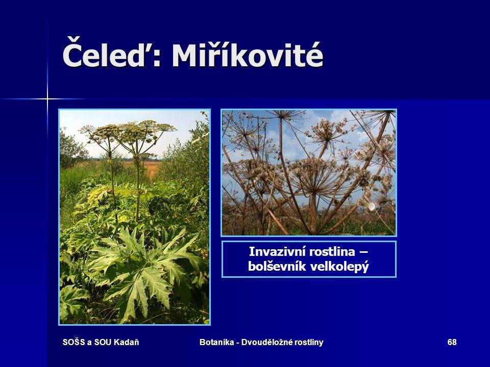 Čeleď: Miříkovité Invazivní rostlina – bolševník velkolepý