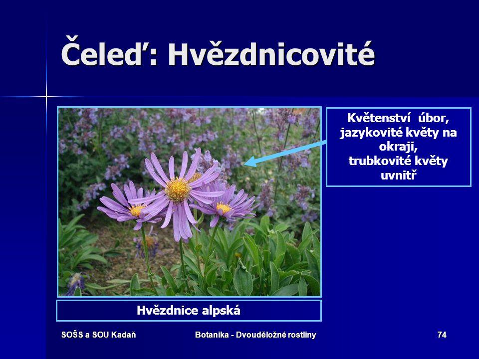 Čeleď: Hvězdnicovité Květenství úbor, jazykovité květy na okraji,