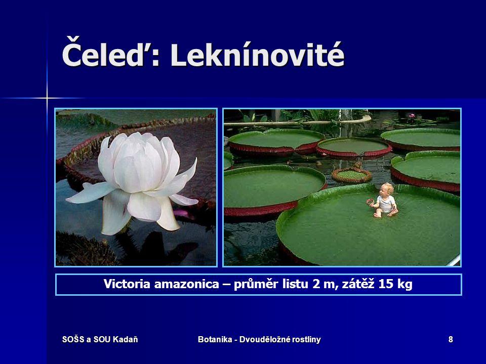 Čeleď: Leknínovité Victoria amazonica – průměr listu 2 m, zátěž 15 kg