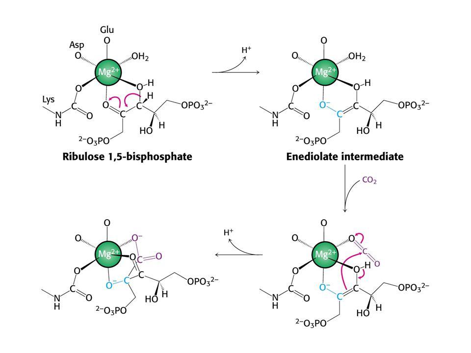 Role hořečnatých iontů v RUBISCu.