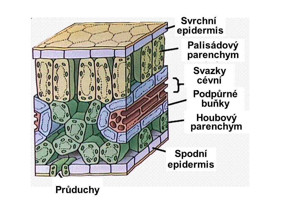 Svrchní epidermis Spodní Svazky cévní Podpůrné buňky Průduchy Houbový parenchym Palisádový