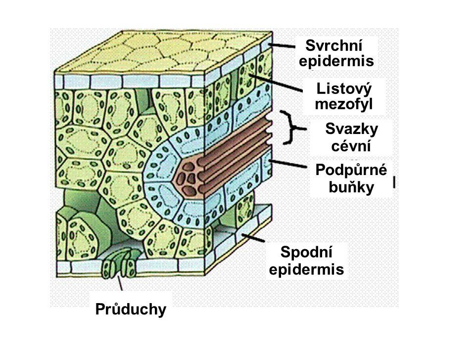 Svrchní epidermis Listový mezofyl Spodní Svazky cévní Podpůrné buňky Průduchy