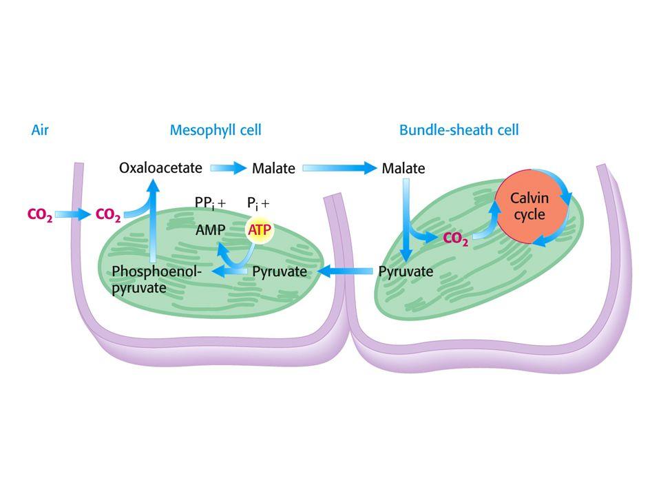 Metabolismu C4.