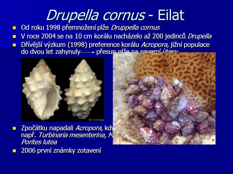 Drupella cornus - Eilat