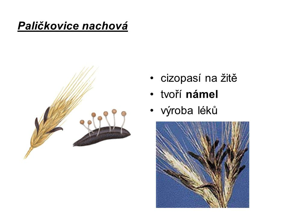 Paličkovice nachová cizopasí na žitě tvoří námel výroba léků