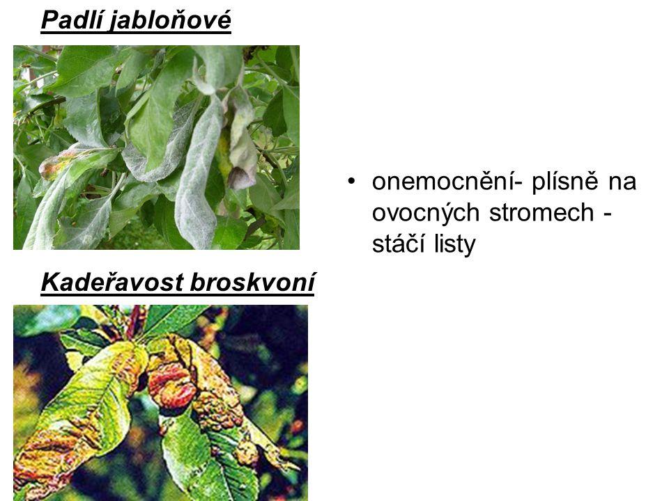 Padlí jabloňové Kadeřavost broskvoní onemocnění- plísně na ovocných stromech - stáčí listy