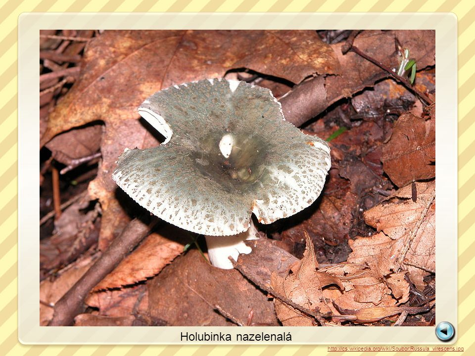 Holubinka nazelenalá http://cs.wikipedia.org/wiki/Soubor:Russula_virescens.jpg