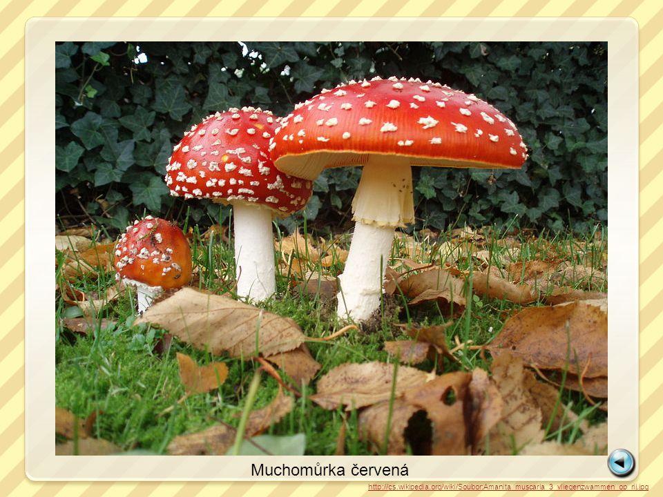 Muchomůrka červená http://cs.wikipedia.org/wiki/Soubor:Amanita_muscaria_3_vliegenzwammen_op_rij.jpg