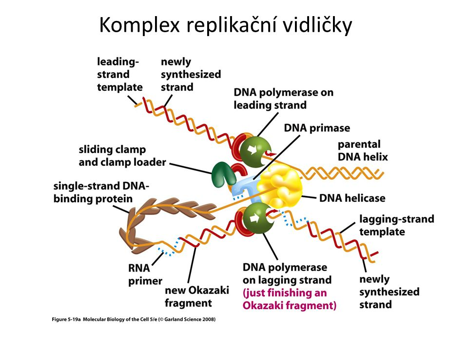 Komplex replikační vidličky