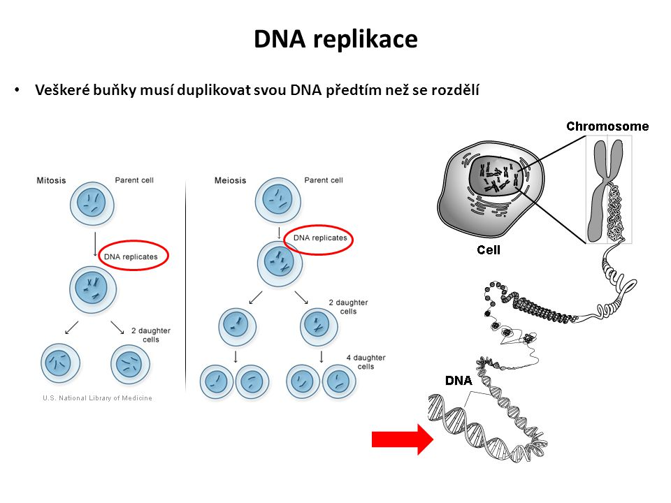 DNA replikace Veškeré buňky musí duplikovat svou DNA předtím než se rozdělí