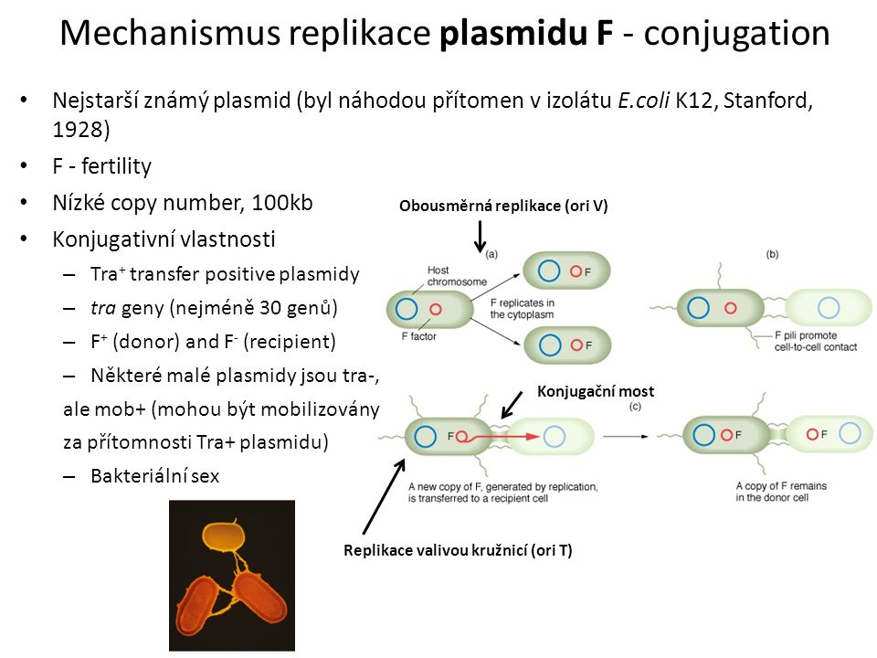 Mechanismus replikace plasmidu F - conjugation