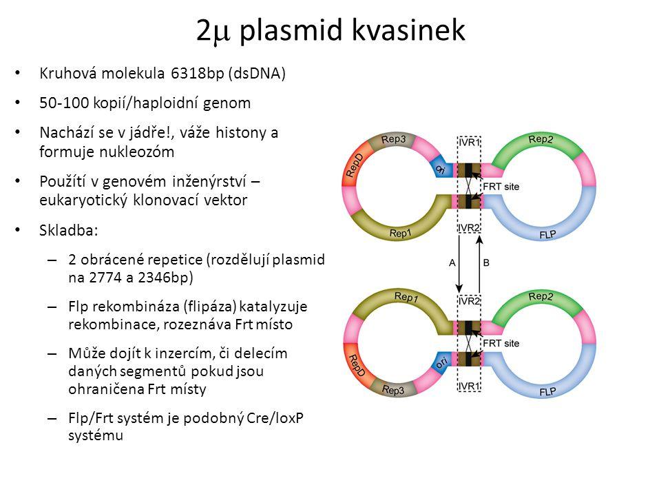 2 plasmid kvasinek Kruhová molekula 6318bp (dsDNA)