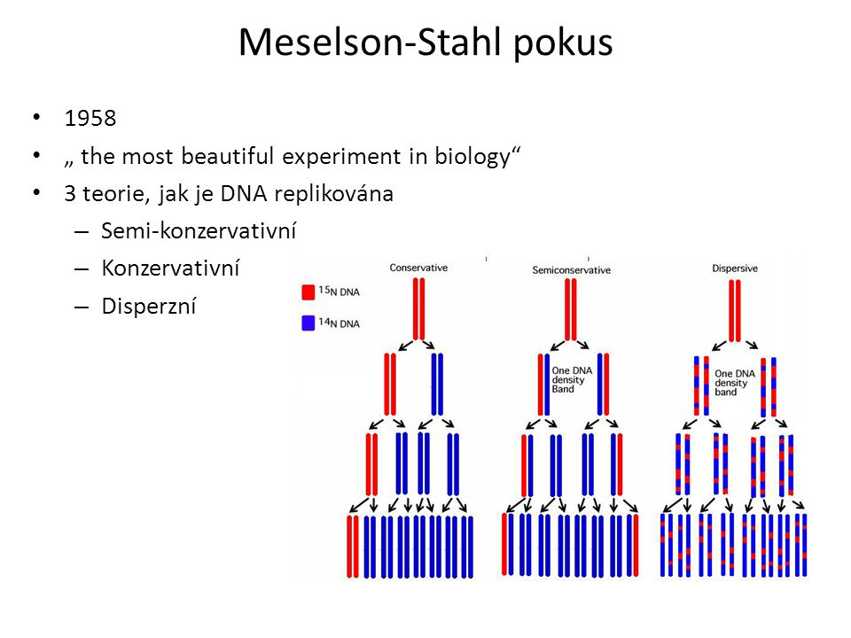 "Meselson-Stahl pokus 1958 "" the most beautiful experiment in biology"
