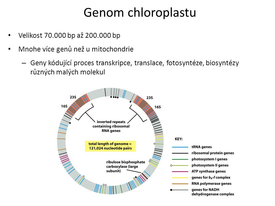 Genom chloroplastu Velikost 70.000 bp až 200.000 bp