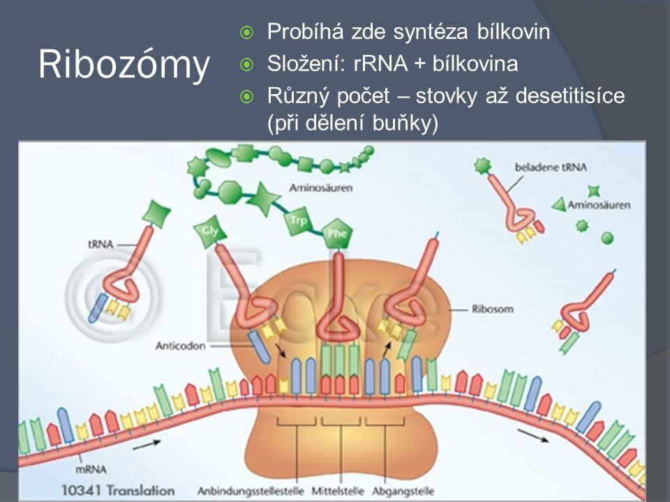 Ribozómy Probíhá zde syntéza bílkovin Složení: rRNA + bílkovina