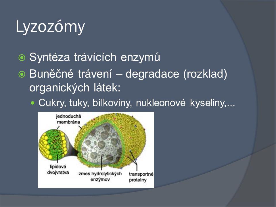 Lyzozómy Syntéza trávících enzymů