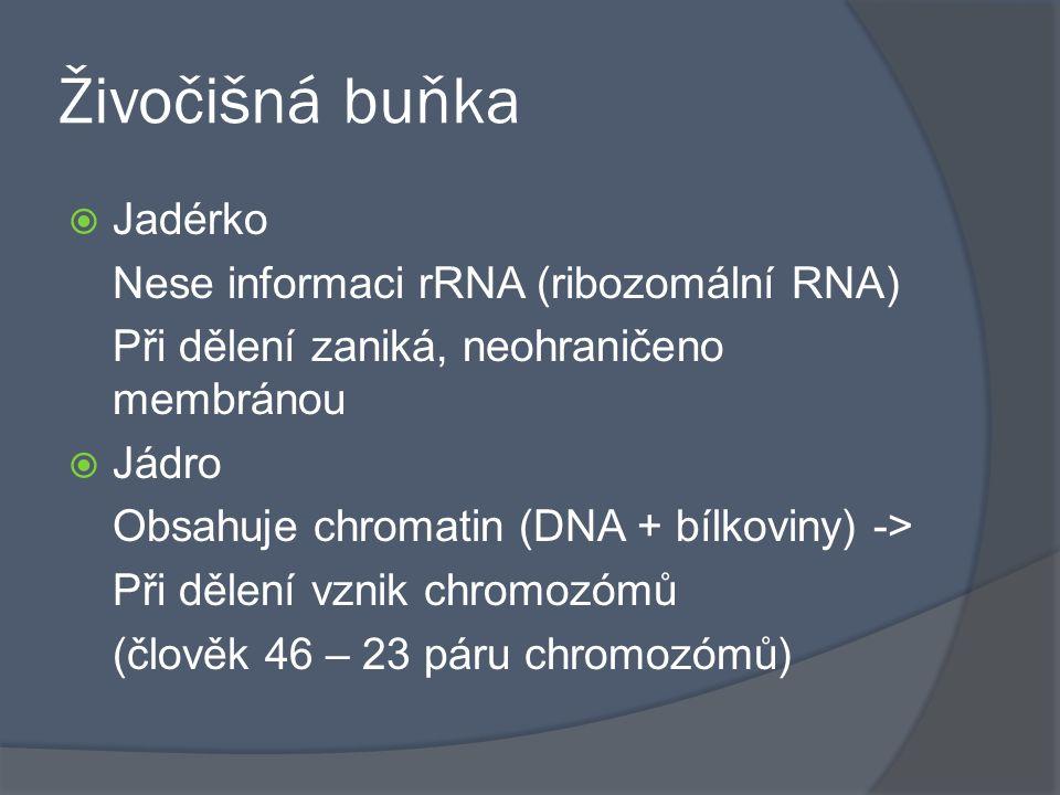 Živočišná buňka Jadérko Nese informaci rRNA (ribozomální RNA)
