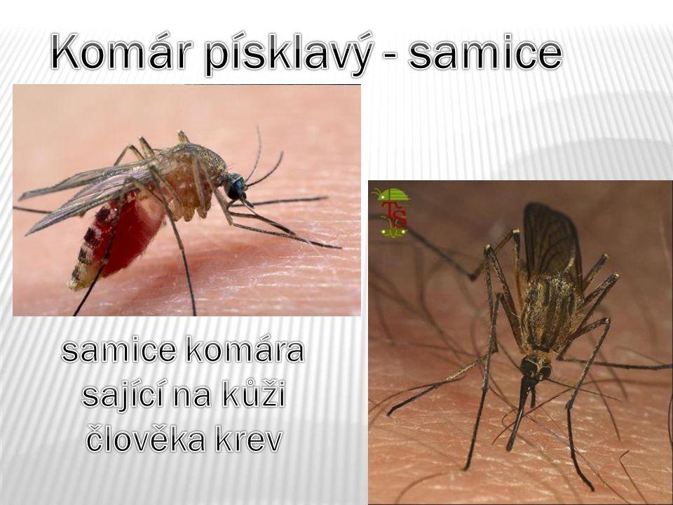 Komár písklavý - samice samice komára sající na kůži člověka krev
