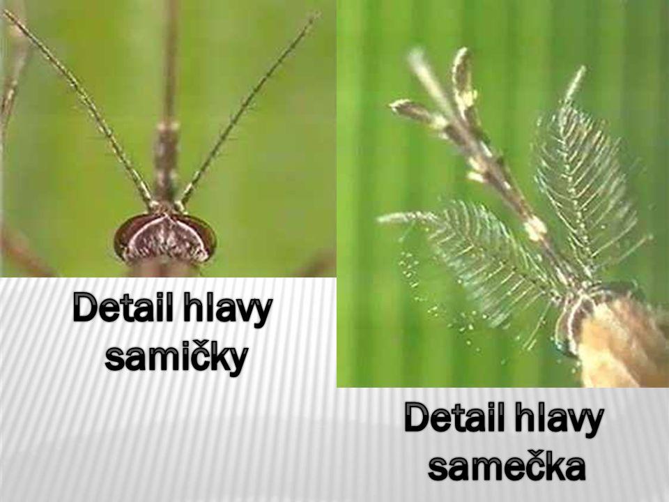Detail hlavy samičky Detail hlavy samečka
