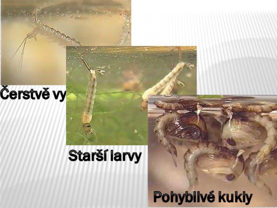 Starší larvy Čerstvě vylíhlé larvy Pohyblivé kukly